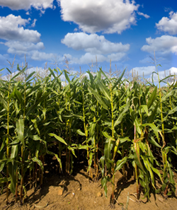 Sustainable Maize Crops